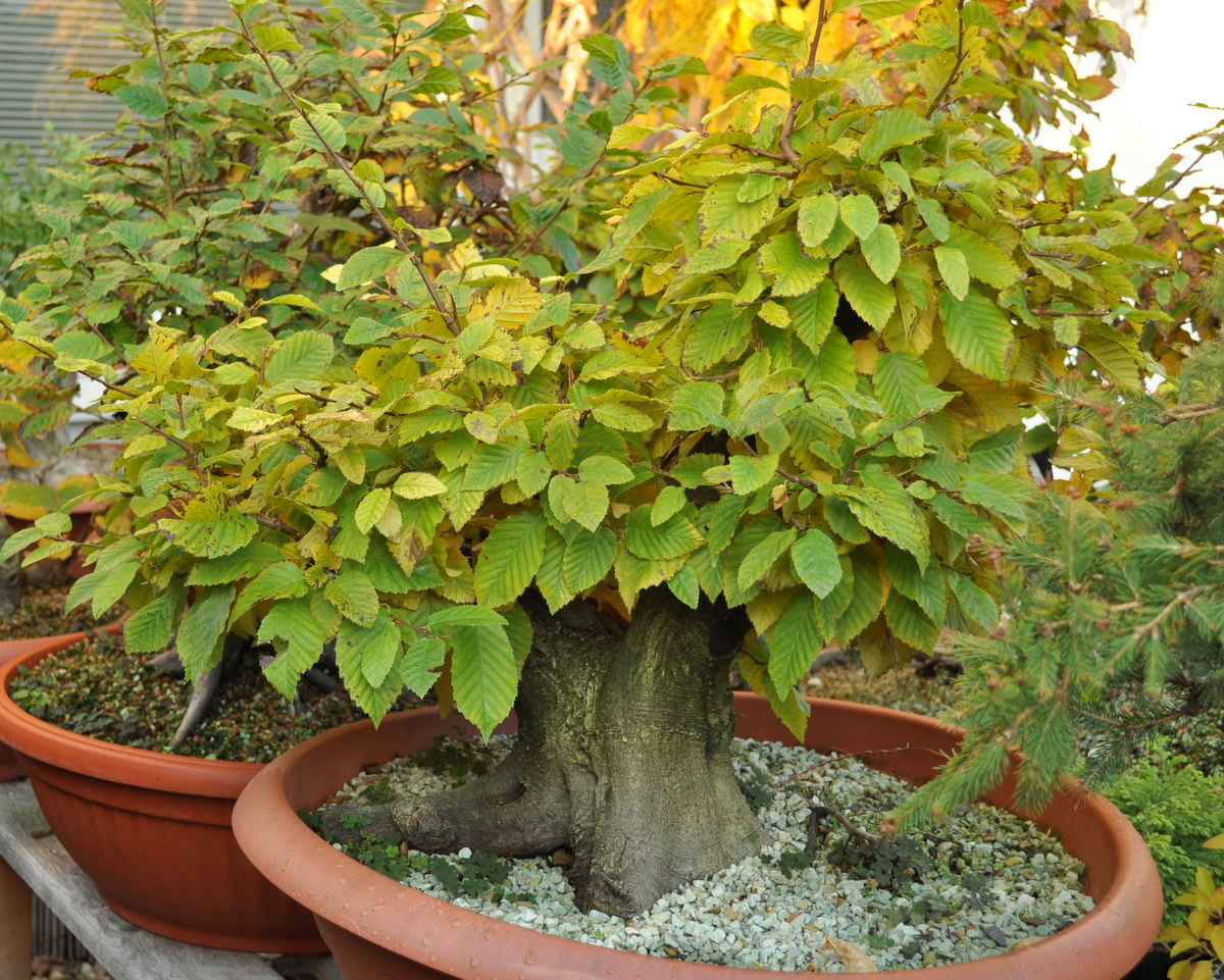 Bonsai Tree 30 Excellent Bonsai Tree Leaves Turning Yellow Images