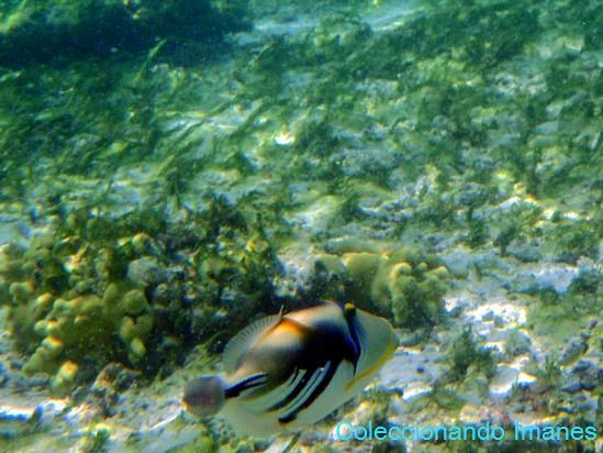ballesta picasso pez de colores