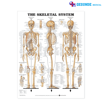 Anatomical Chart Sistem Skeletal