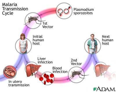 pengobatan penyakit malaria, pencegahan malaria pdf,jenis penyakit malaria, pengobatan malaria, penyebab penyakit malaria, pencegahan malaria menurut depkes