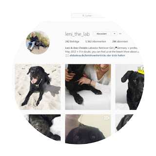 leni the lab labrador instagram seite