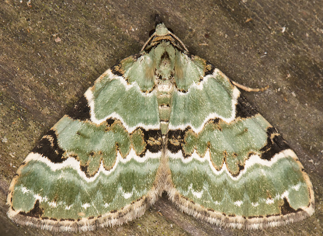 Green Carpet, Colostygia pectinataria.  Sevenoaks Wildlife Reserve, 25 April 2017.