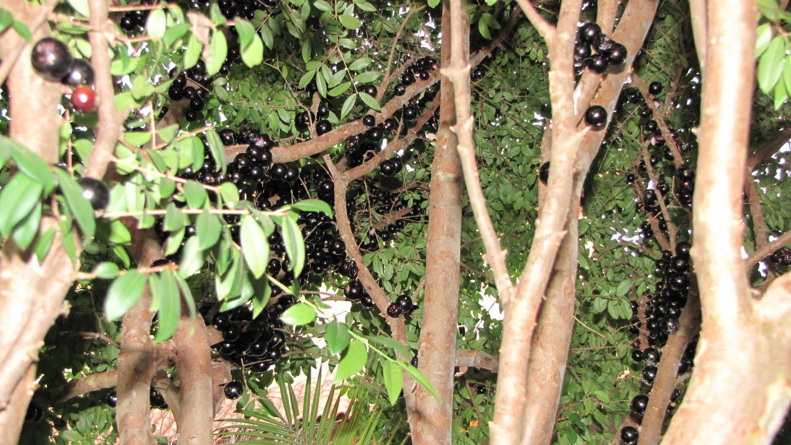 شجرة العنب البرازيلي الأغرب في العالم منتديات المطاريد