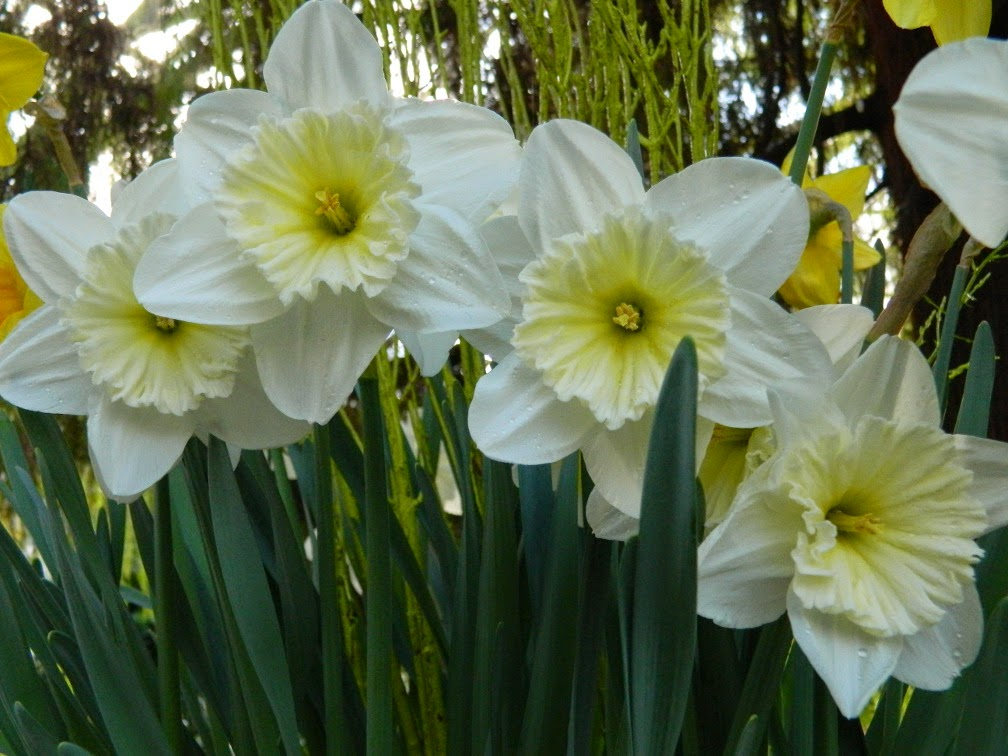 White daffodils Allan Gardens Conservatory 2015 Spring Flower Show by garden muses-not another Toronto gardening blog