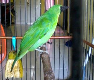 Burung Cucak Hijau Harus Dimaster Terus
