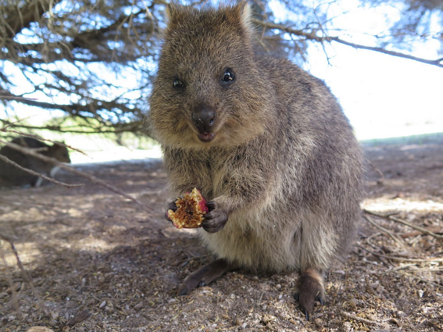 TVL: ANIMAL DA SEMANA - Quokka