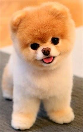 Foto di cani di razza piccola for Nomi per cani taglia piccola