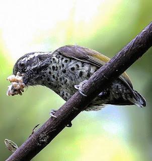 Picumnus innominatus