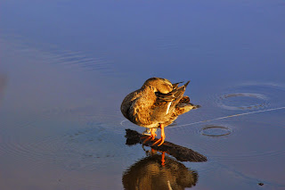 Подсадная утка на весенней охоте
