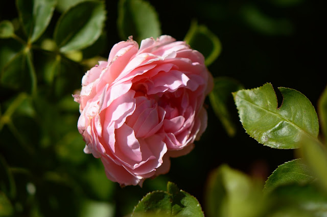 rose, st swithun, amy myers, small sunny garden, desert garden,