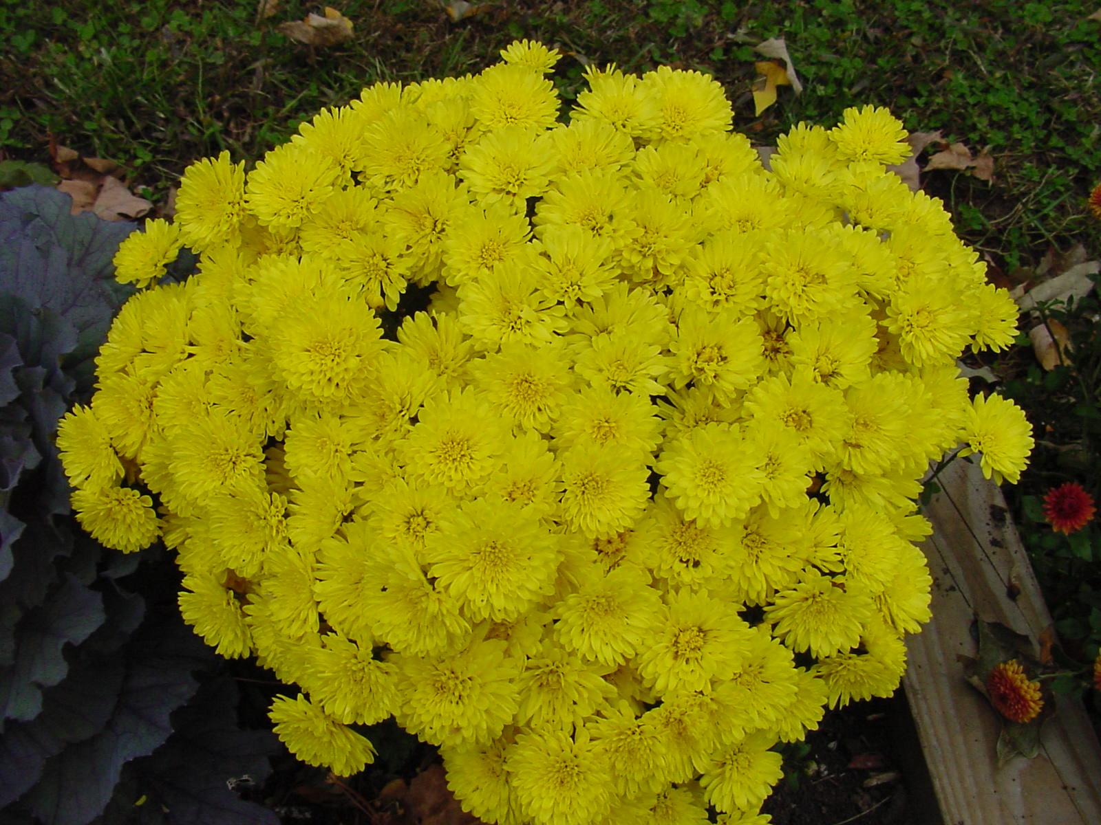 Beautiful Flowers: cherysanthmum