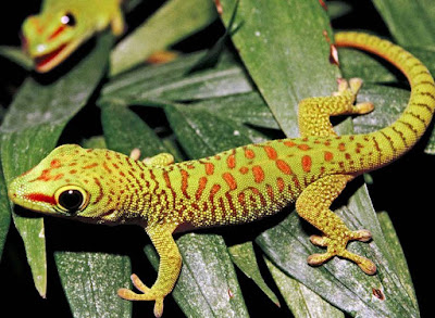 Animals That Start With G - Gecko