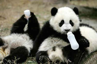 osos panda muy tiernos