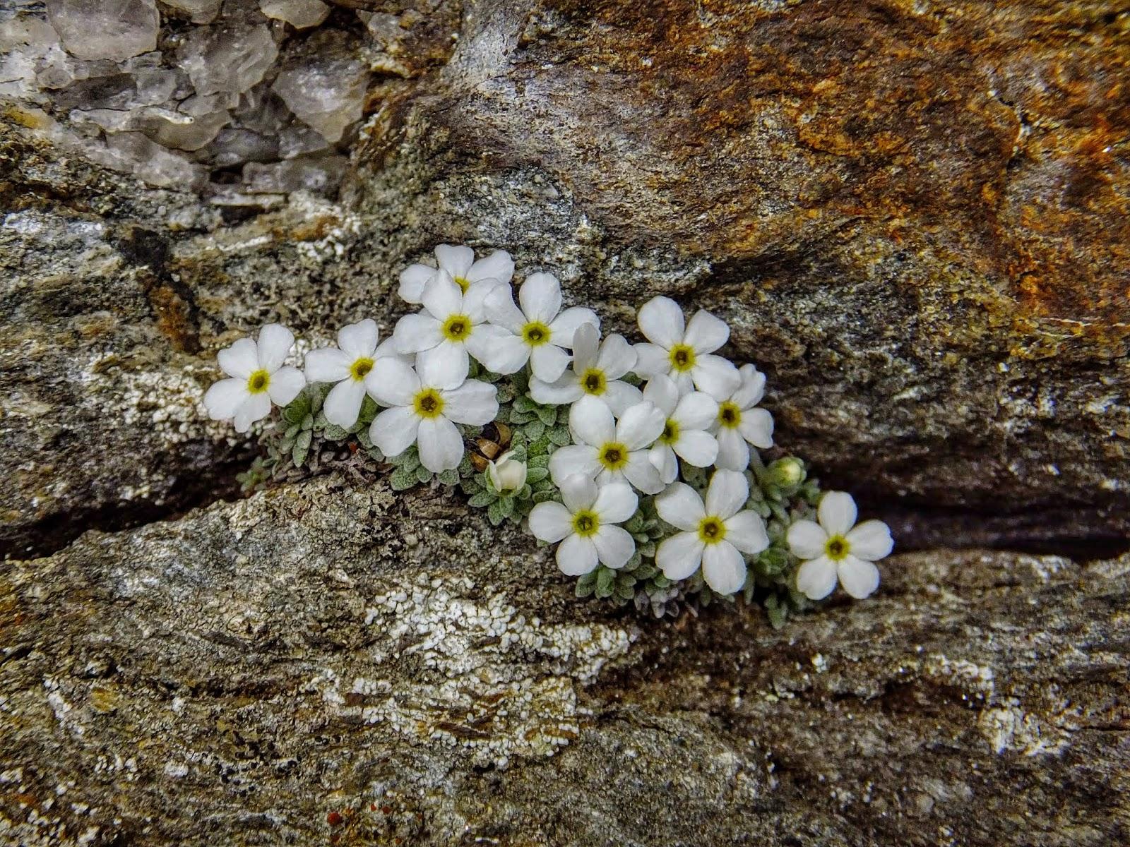 Malati di montagna flora alpina adattamento delle piante for Piante classificazioni inferiori successive