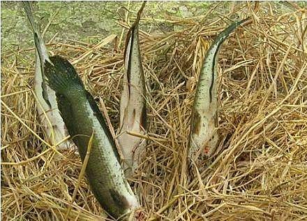 Các món đặc sản Đồng Tháp: Cá lóc nướng rơm