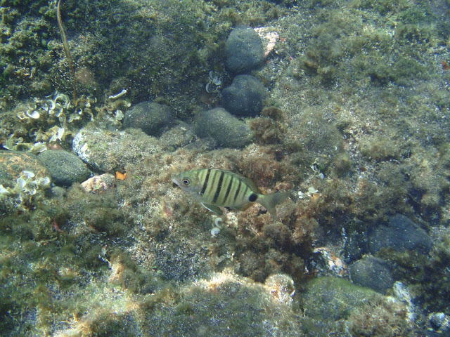 Spitzbrasse - Diplodus puntazzo © Canarian Sea 04