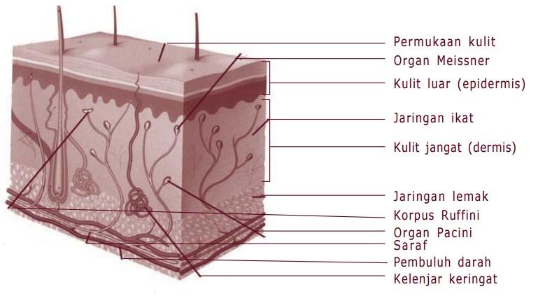 Kulit: Struktur, Fungsi, dan Gangguan pada Kulit Manusia