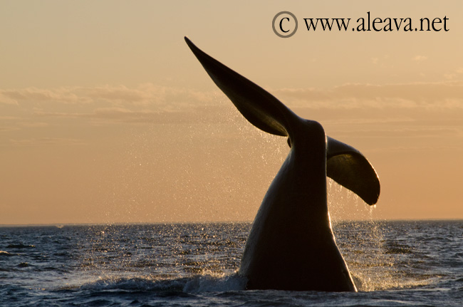 Tail in a Whale Watching Sunset in Peninsula Valdes