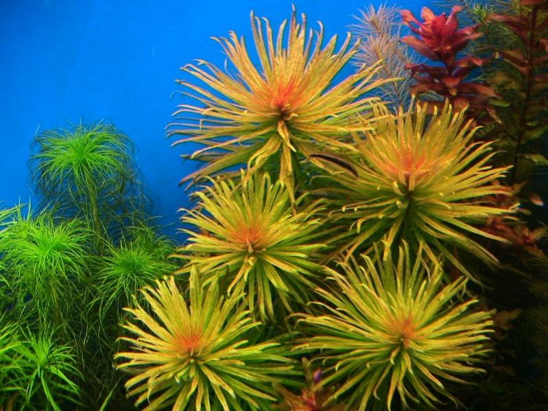 Vẻ đẹp tuyệt vời của cây thủy sinh Hoàng Thái Dương