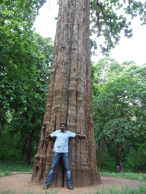 Biggest Teak Tree In Kerala India Asia