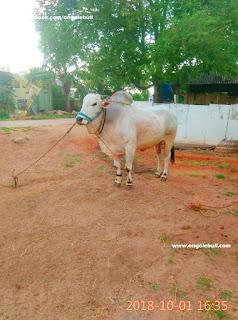 Ongole bull image