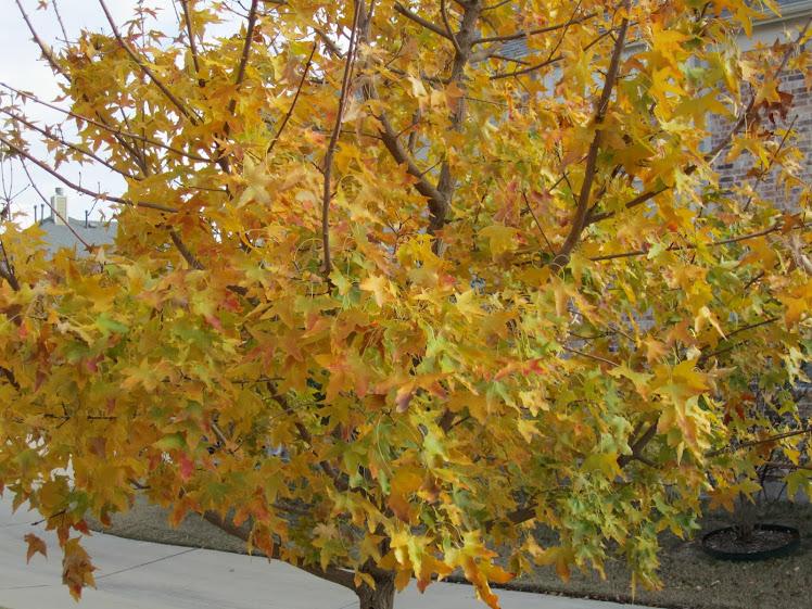 Maples 4 Allen Texas
