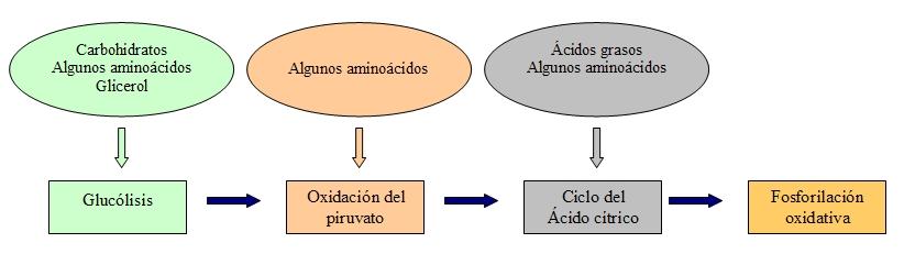 Conexión de carbohidratos, proteínas y lípidos con el metabolismo de la glucosa