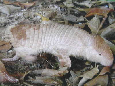 Greater fairy Armadillo