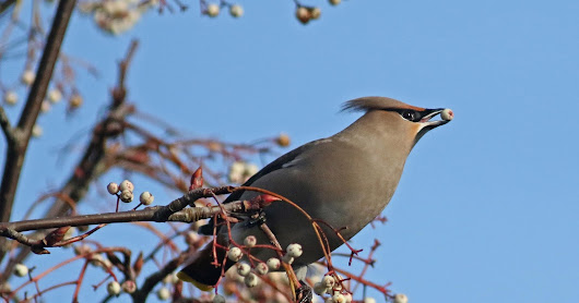 Banbury and the Cherwell Valley: Waxwings and Pintails