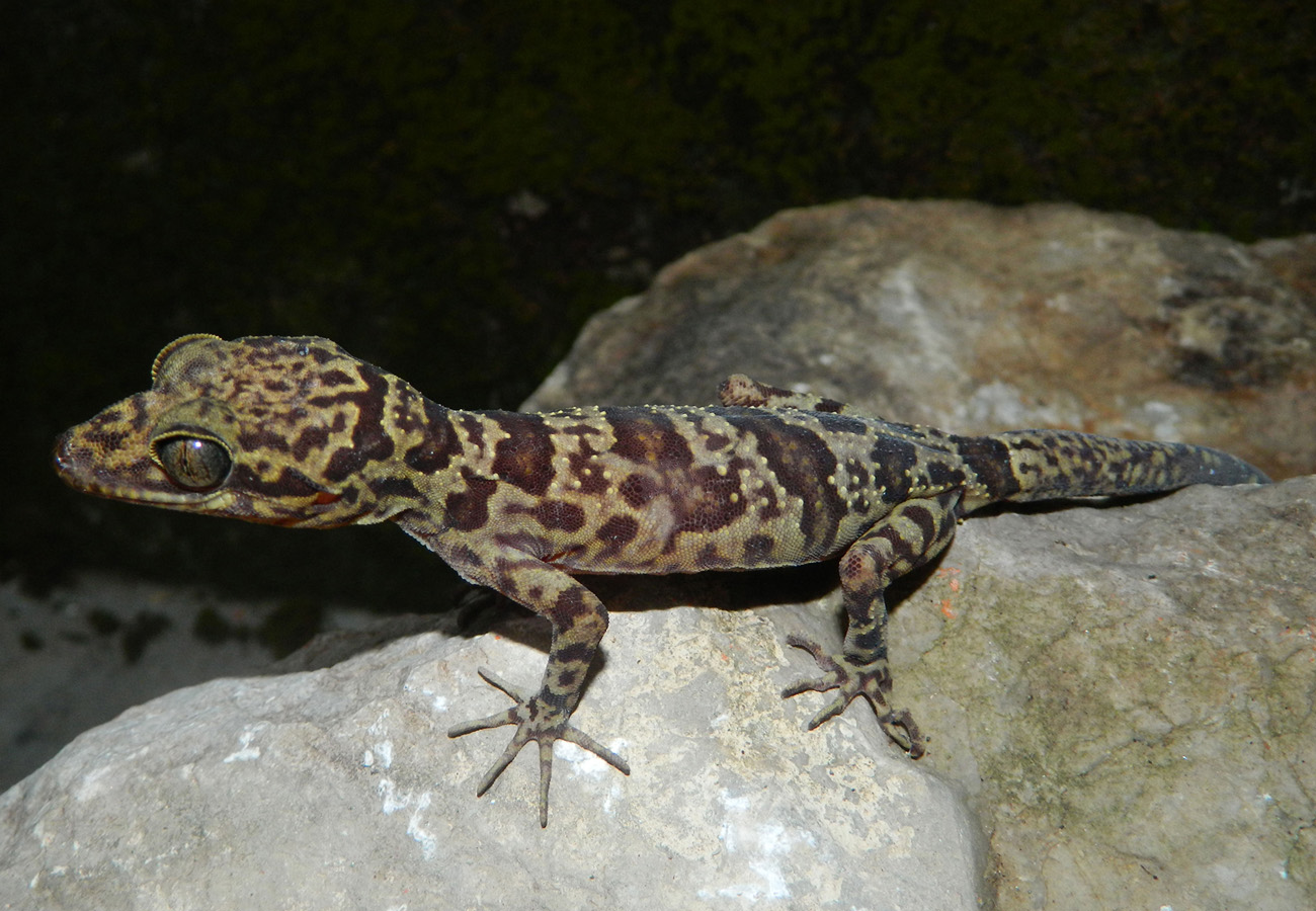 A new gecko from Vietnam