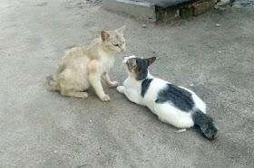 Video Kucing lucu lagi Pacaran