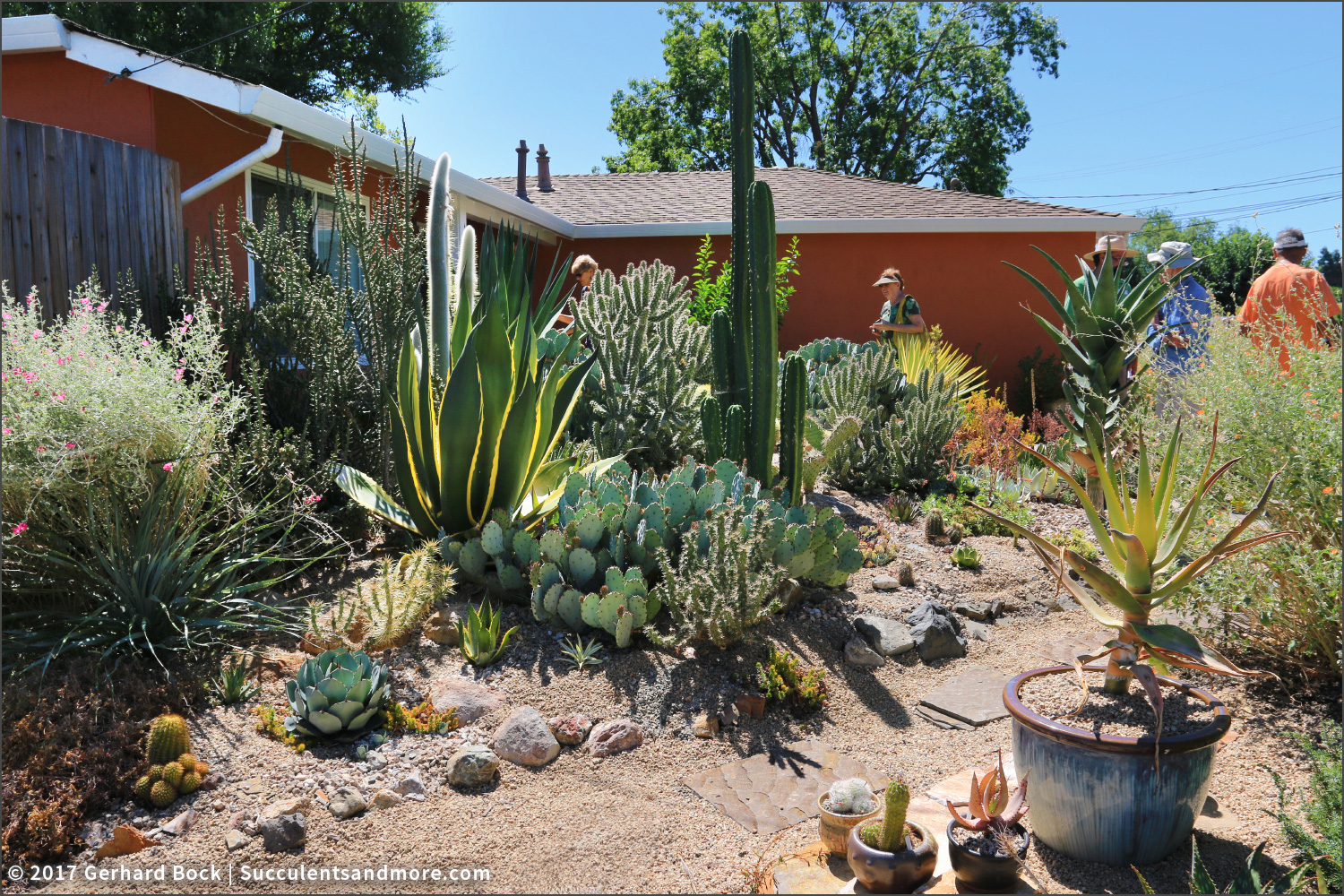Agaves And Aloes Are A Common Sight In Dry Gardens In Northern California,  As Are Golden Barrel Cactus, But The More Lethal Members Of The Cactus ...