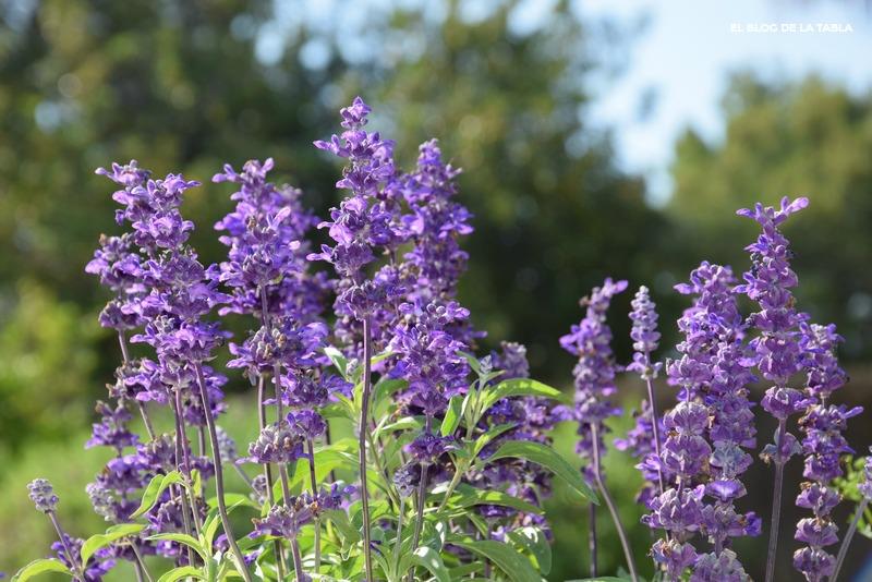 Salvia farinacea (Salvia azul)