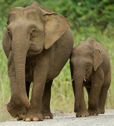 Characteristics of asian elephants