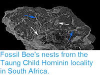 https://sciencythoughts.blogspot.com/2016/10/fossil-bees-nests-from-taung-child.html