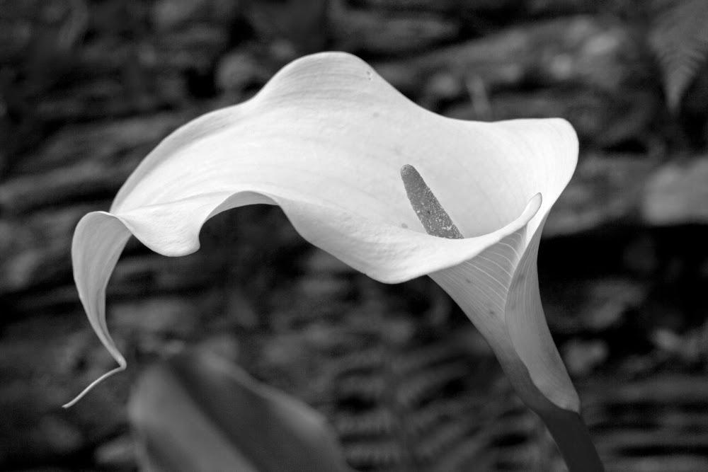 fotografía de flores y plantas en blanco y negro, imágenes, fotos creativas, artística,