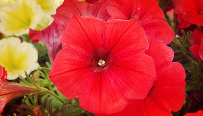Petunias flores
