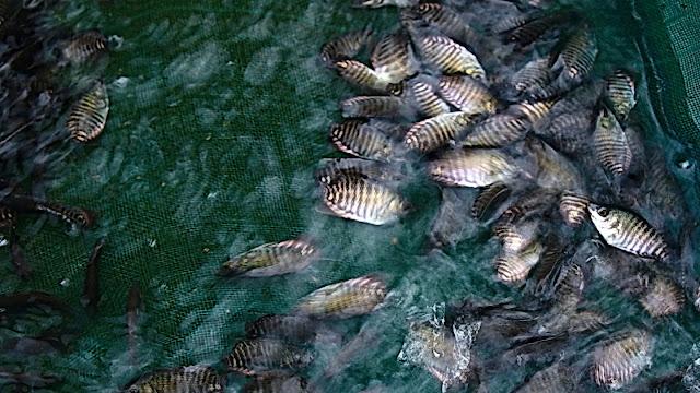 Teknik Pemberian Pakan Ikan Gurame yang Baik