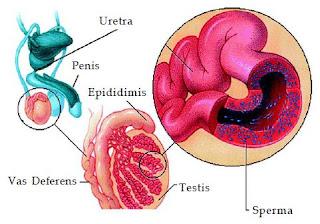 Pengertian Sistem Reproduksi, Alat Reproduksi Pria dan Wanita, Proses Reproduksi dan Penyakit pada Sistem Reproduksi