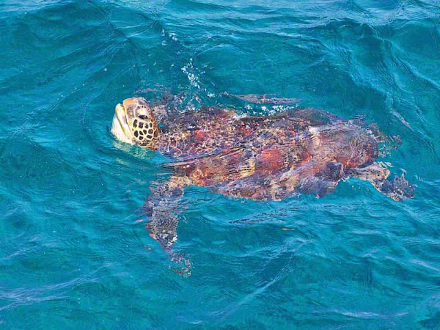 IUCN Red List, endangered species, turtle, Chelonia mydas, Okinawa, image
