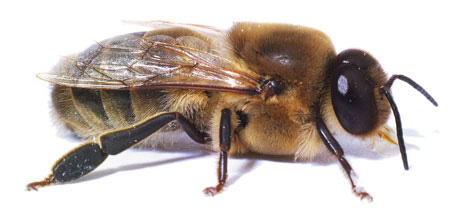 honey bees drones with Sciencequestionsfrom5th Graders Blogspot on Honey Bee Anatomy furthermore Novembeard Inspiration moreover Sciencequestionsfrom5th Graders blogspot in addition Queen Cells Part 2 in addition Basic Honeybee Biology.