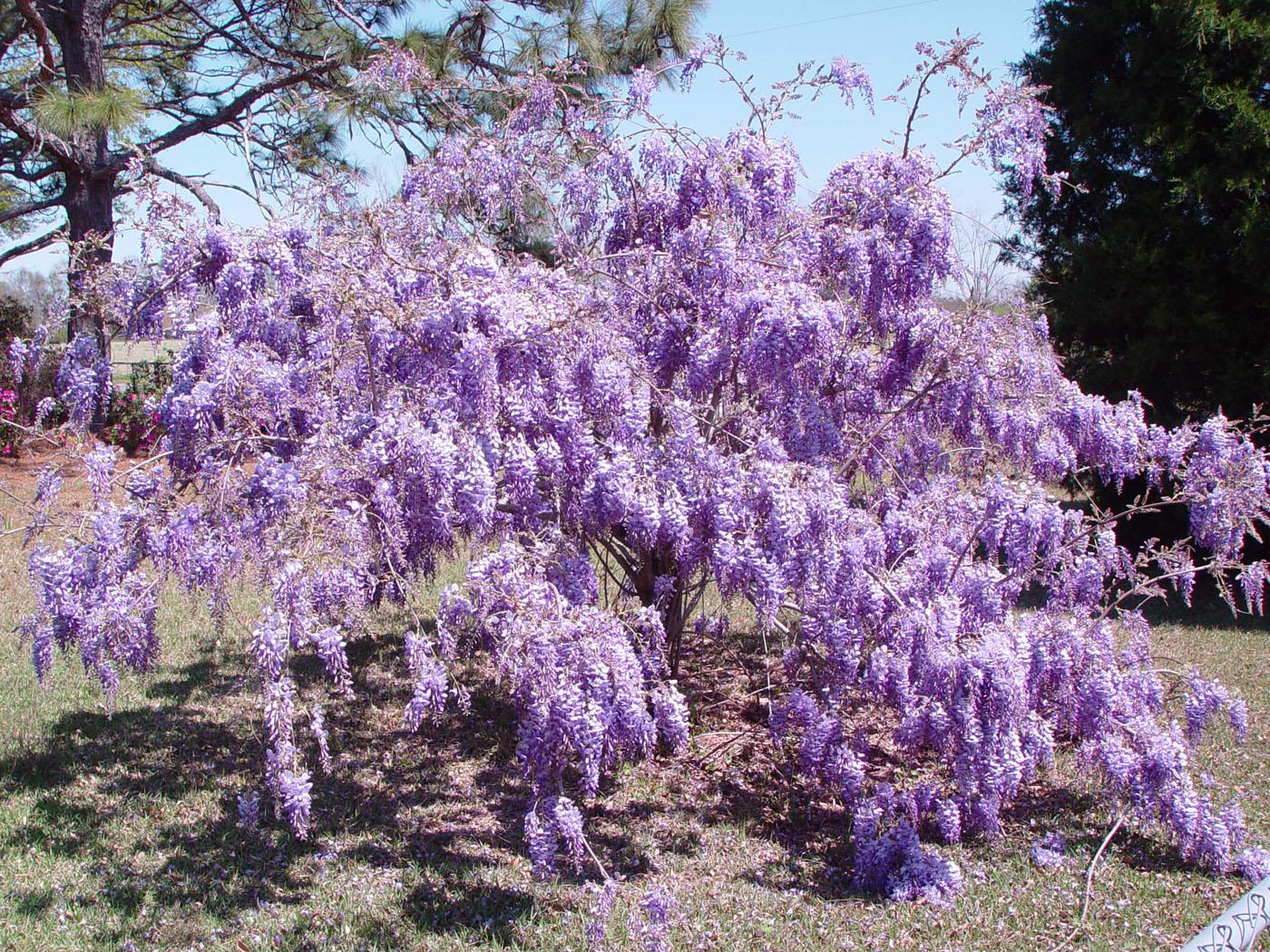 Purple trees in virginia revolutionhr purple flowering trees in virginia garden inspiration mightylinksfo