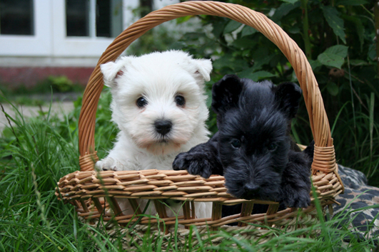 How to Care Scottish Terrier Dog