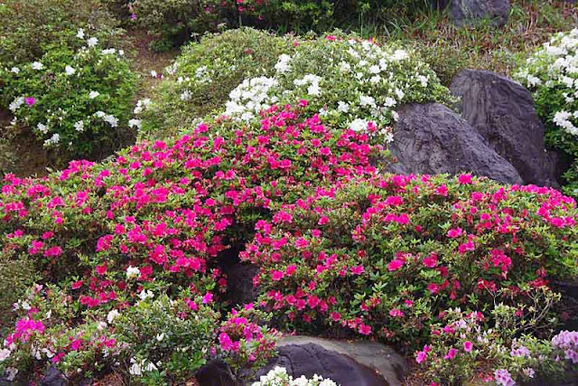 Pink, red, white flowers in a rock garden