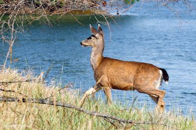 Columbian Black-tailed Deer