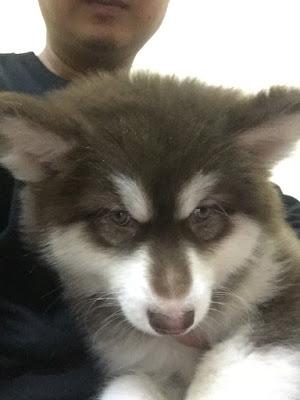 Alaska Phi Ngu - chuyên phối giống chó alaska
