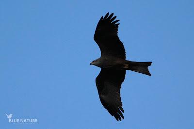 Milano negro - Black kite - Milvus migrans Plumaje impoluto, su buen estado nos indica que mínimo este milano negro tiene 2 años de edad.
