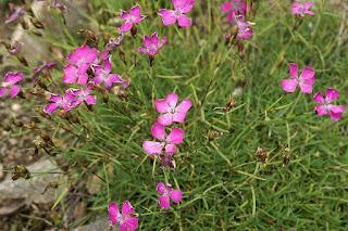 Œillet négligé - Dianthus pavonius