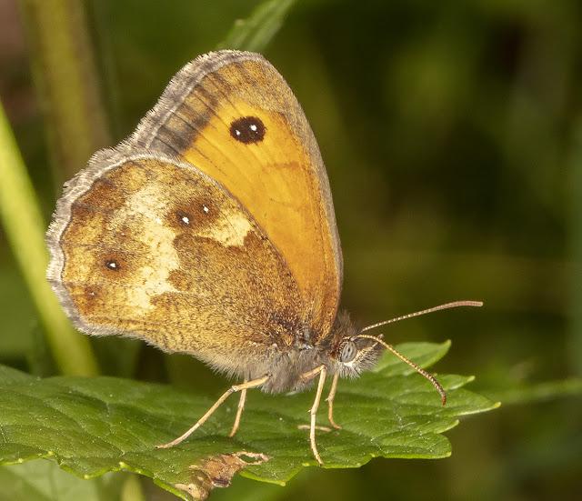 Gatekeeper, Pyronia tithonus.  Crowborough Country Park, 6 July 2018.