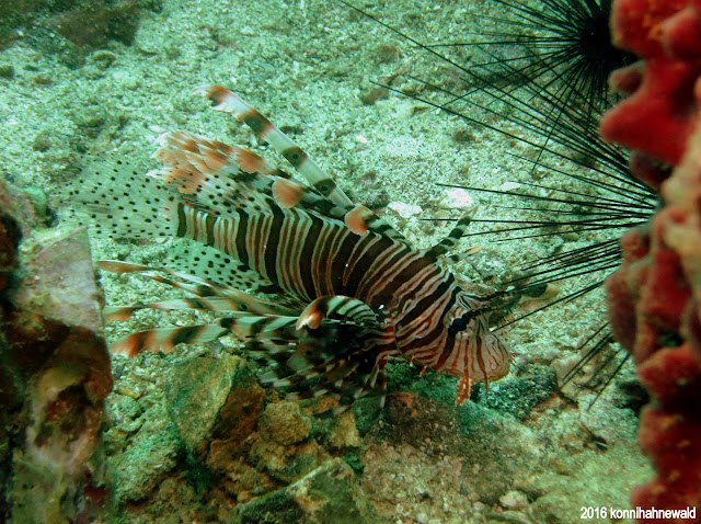 Lionfish, tropical waters, scuba diving, andaman sea, thailand, koh lipe, excellent underwater picture, environmental friendly,